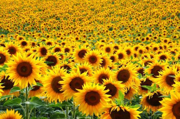 باغ آفتابگردان ها در بریتیش کلمبیا از 26 جولای باز است