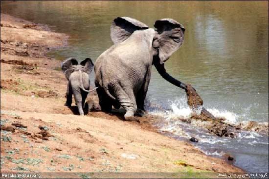 شجاعـت و عشـق یک بچـه فیـل!